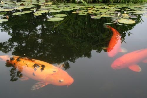 Koi fish feeding mission san juan capistrano for Koi feeding