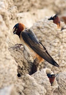 CliffSwallow